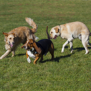 three dogs play outside
