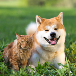 shibe and cat